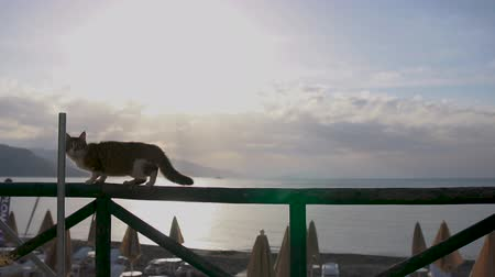 столовая гора : Scared cat runs along the fence cafe near the beach in slow motion at sunrise
