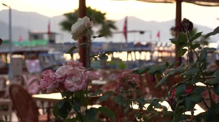 столовая гора : Beautiful roses in a pot on the terrace cafe by the sea in slow motion