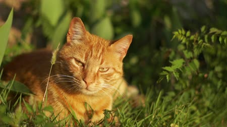 bámul : Big red sleepy cat sits in the grass on a sunny day in slow motion