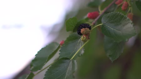 dut : Macro shot of the Mulberry on the tree. Stok Video