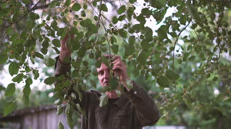 dacha : Man takes Mulberry from the tree in slow motion