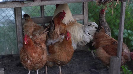 петух : Cinnamon and rooster in a rural chicken coop Стоковые видеозаписи