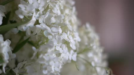 nepravidelný : The incredible petals of a white lilac in the room close-up. Dostupné videozáznamy