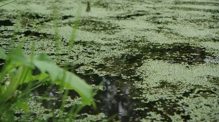 водохранилище : The surface of a overgrown lake, green duckweed close up in slow motion
