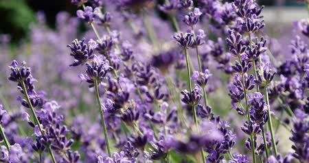 levandule : 4k - lavender flowers close up in slow motion