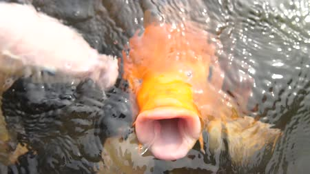 concourse : Large orange fish opens its mouth wide to catch bread in slow motion