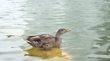 landscaping rocks : Beautiful duck stands on a stone in a lake drinks water in slow motion