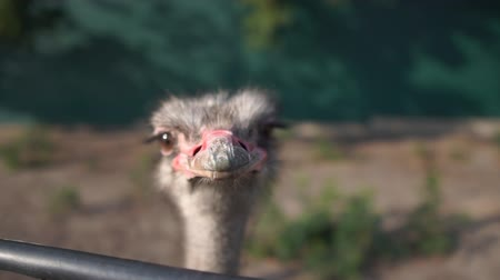 avestruz : Ostrich head close-up, which stands behind the fence in slow motion Stock Footage