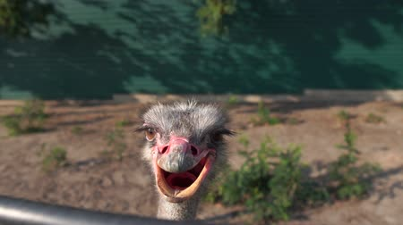 pštros : Close-up ostrich head with open beak in the zoo in slow motion