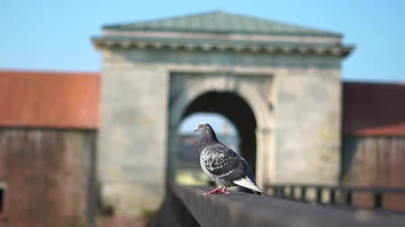 Closeup dove sits on a fence at the entrance to the castle and then takes off and flies away