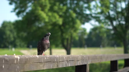 Pigeon sits on the wooden fance and rest turning his head in the park.