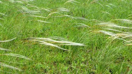 filigrana : Field of feather grass shaking on the wind