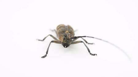 bak : Longhorn beetle or longicorn Cerambycidae on white background sit, move antenna and fly away