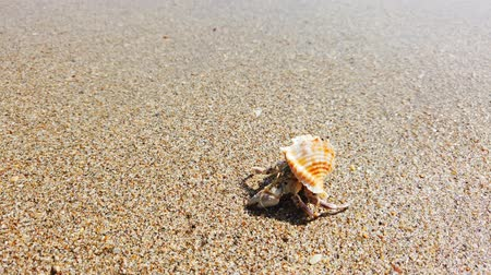 hermit crab : Little hermit crab with beautiful shell crawling on sand beach to sea. 4K closeup video