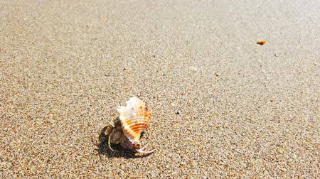 rákok : Little hermit crab with beautiful shell crawling on sand beach to sea. 4K closeup video