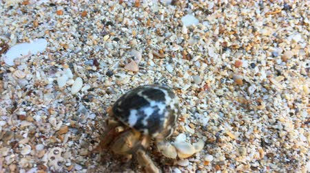hermit crab : Closeup view of small hermit crab with shell crawling on sand beach. 4K macro footage Stock Footage