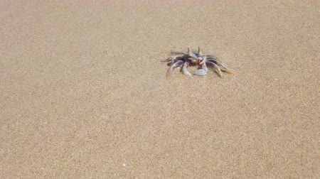заподлицо : Crab on the sand washes away by ocean wave. 4K footage