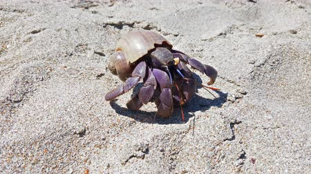 hermit crab : 4K closeup footage of big hermit crab with shell crawling on sand beach in Thailand Stock Footage
