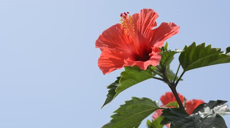 florido : Chinese hibiscus flower in left side under blue sky