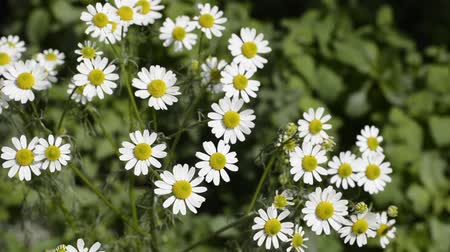 kamilla : German chamomile flowers in front of green blurs