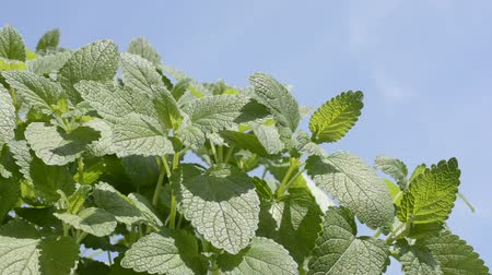melissa officinalis : Bright green lemon balm plants in diagonal half under blue sky