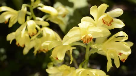 florido : Bright yellow orchid flowers shining bathed in sunlight on dark background Stock Footage