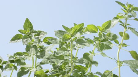 oregano : Bright green oregano plants under blue sky Stock Footage