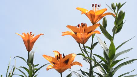 botanik : Bright orange asian lily flowers under blue sky