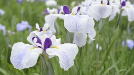 írisz : Lined three colors Japanese iris flowers in green field Stock mozgókép