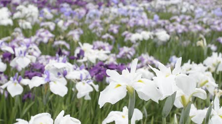 írisz : White and yellow Japanese iris flowers in flower field Stock mozgókép