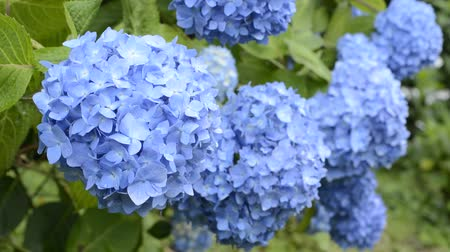 florido : Overlapping bright blue hydrangea flowers that each swaying