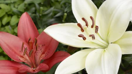 jasně : Red and white asian lily flower with stamen