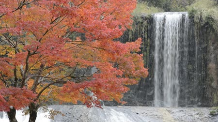 red maple : Autumn maple tree in front of waterfall