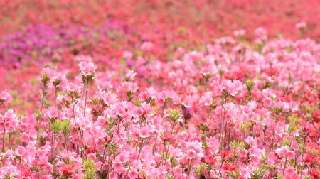 florido : Field filled with pink and red azalea flowers