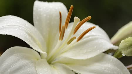 lilie : Close up white asian lily flower wet with rain