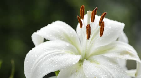 lilie : Close up pale white asian lily flower wet with rain swaying in the wind