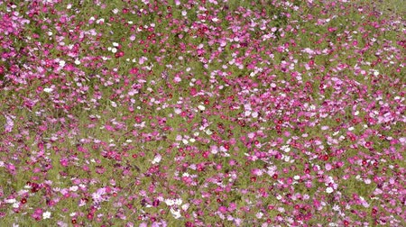 florido : Full blooming pink cosmos flower field swaying in wind