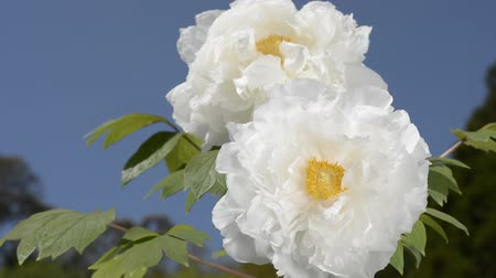 florido : White tree peony flowers under blue sky