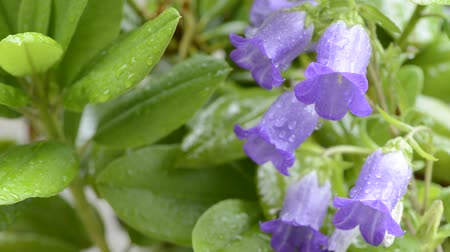 florido : Purple canterbury bells flowers wet with rain Stock Footage