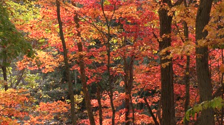 forest : Autumn fullmoon maple tree and falling leaves in Minakami, Gunma