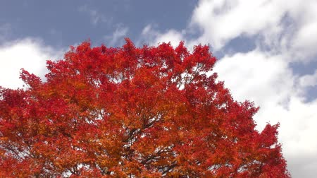 acer : Autumn deep orange painted maple tree under flowing clouds Stock Footage