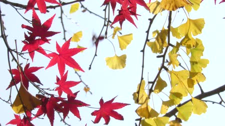 acer : Close up red maple leaves in front of yellow ginko leaves Stock Footage