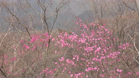 еще : Pale red azalea blossoms (Rhododendron pentaphyllum) in front of trees no leaves yet
