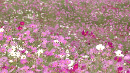 magenta flowers : Ground covered pink and white cosmos flower field swaying in wind