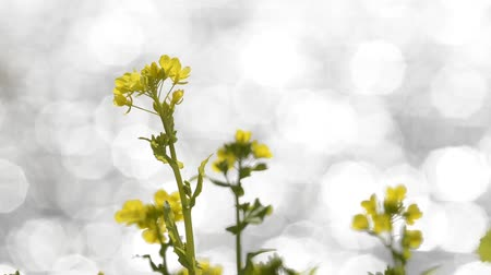 vernal : Yellow cole flowers in front of rounded polygon blurred glitters Stock Footage
