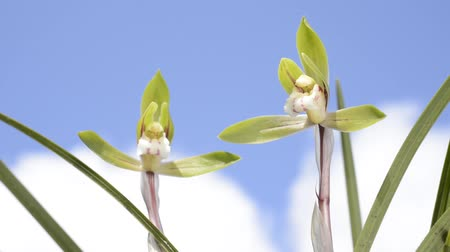 vernal : Green petals of cymbidium goeringii orchid flowers under sky