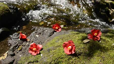 vernal : Fallen common camellia flowers on a mossy rock in front of brook Stock Footage