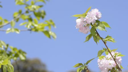 vernal : Pink double cherry blossoms in front of green leaves under blue sky