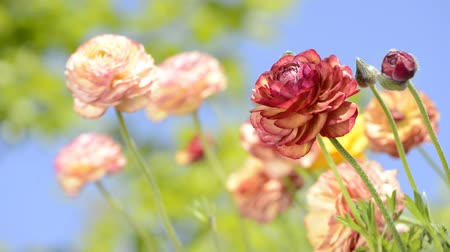 vernal : Warm color persian buttercup flowers in front of blurred green under blue sky