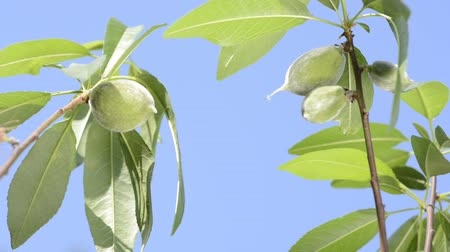 horticulture : Branch of almond tree with immature fruit under blue sky Stock Footage